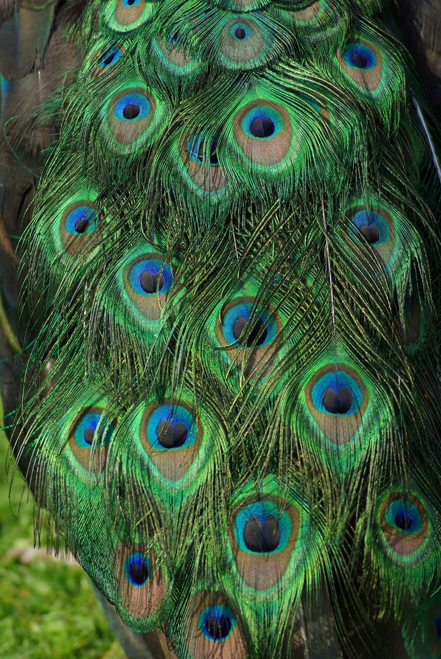 Peacock Plumage #1