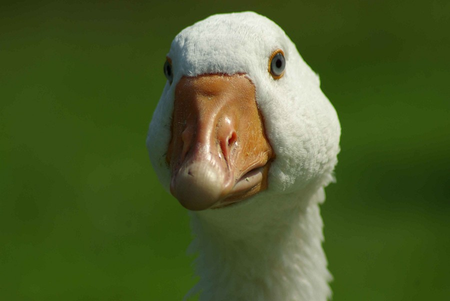 Emden Goose #3