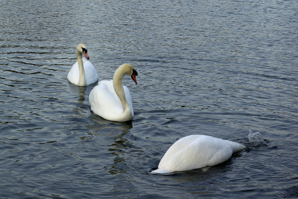 Duck or Swans