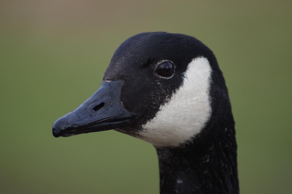 Canada Goose #2