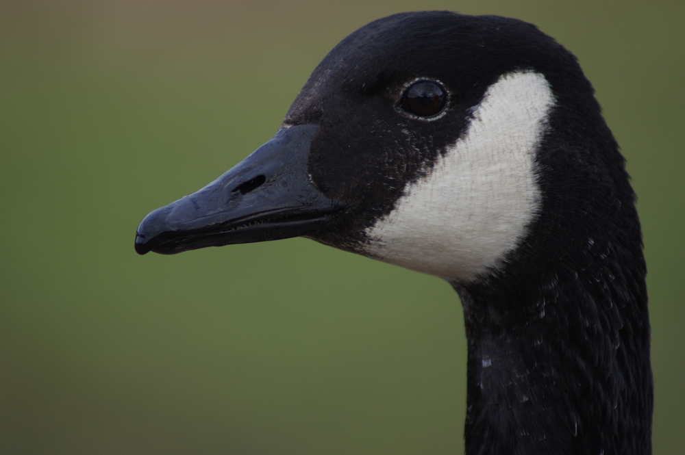 Canada Goose #3
