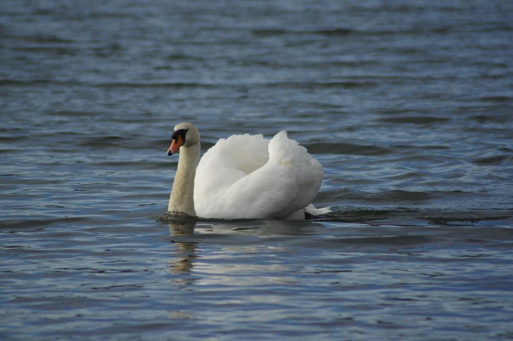 Swan #1