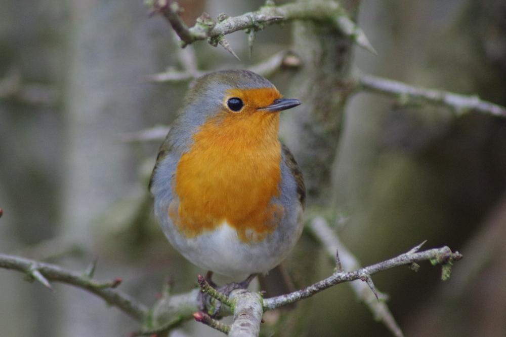 Robin, erithacus rubecula, #3
