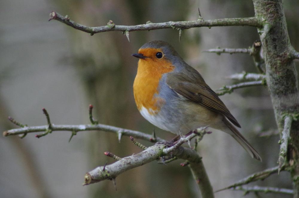 Robin, erithacus rubecula, #2