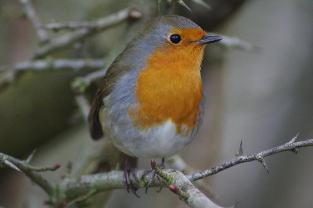 Robin, erithacus rubecula, #1