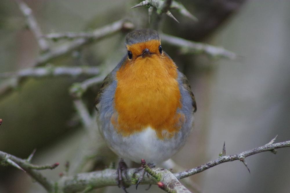 Robin, erithacus rubecula, #4