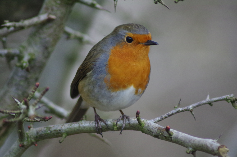 Robin, erithacus rubecula, #5