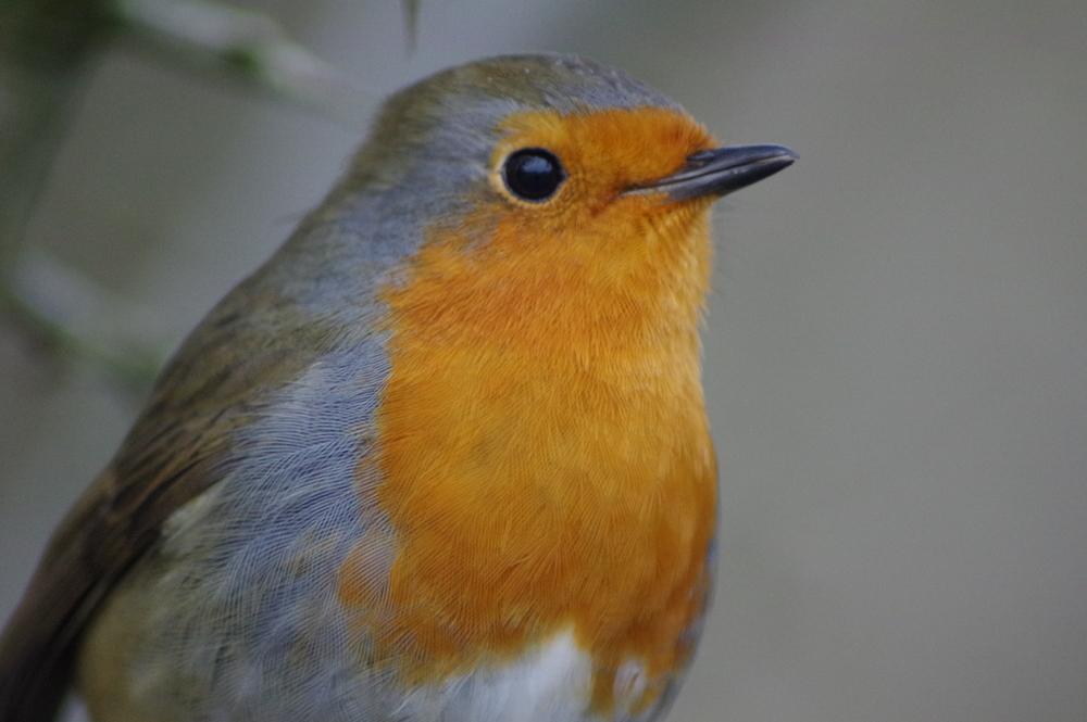 Robin, erithacus rubecula, #7