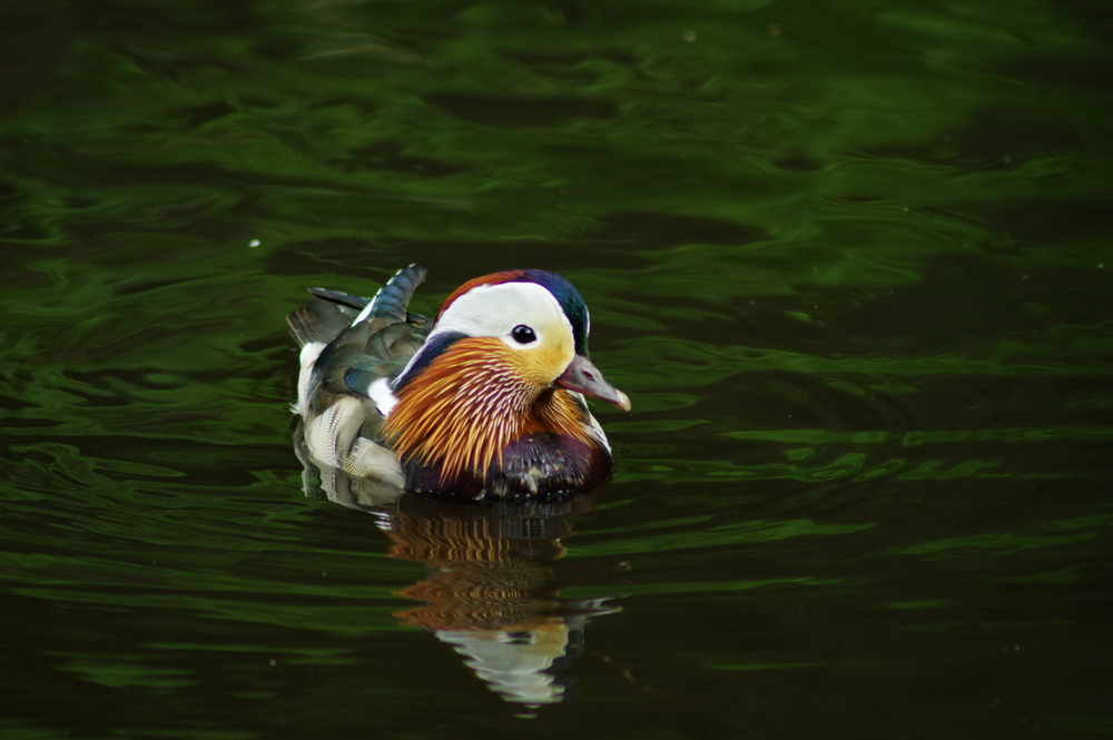 Mandarian Duck and Reflection #3