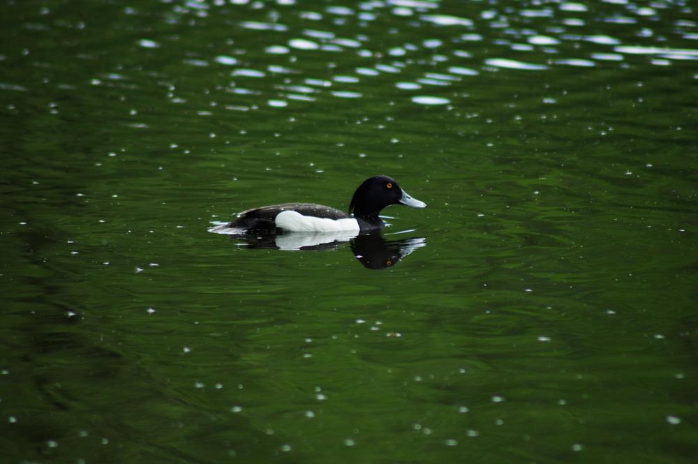 Shoveler Duck, Anas clypeata