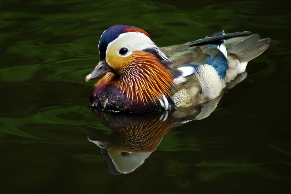 Mandarin Duck and Reflection #1