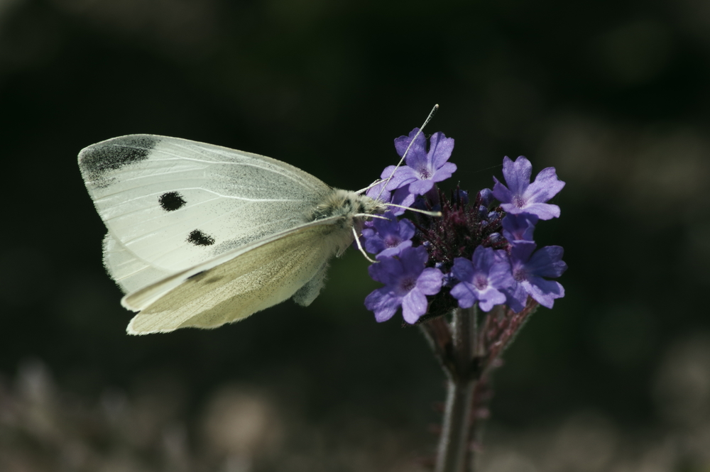 Cabbage White #2