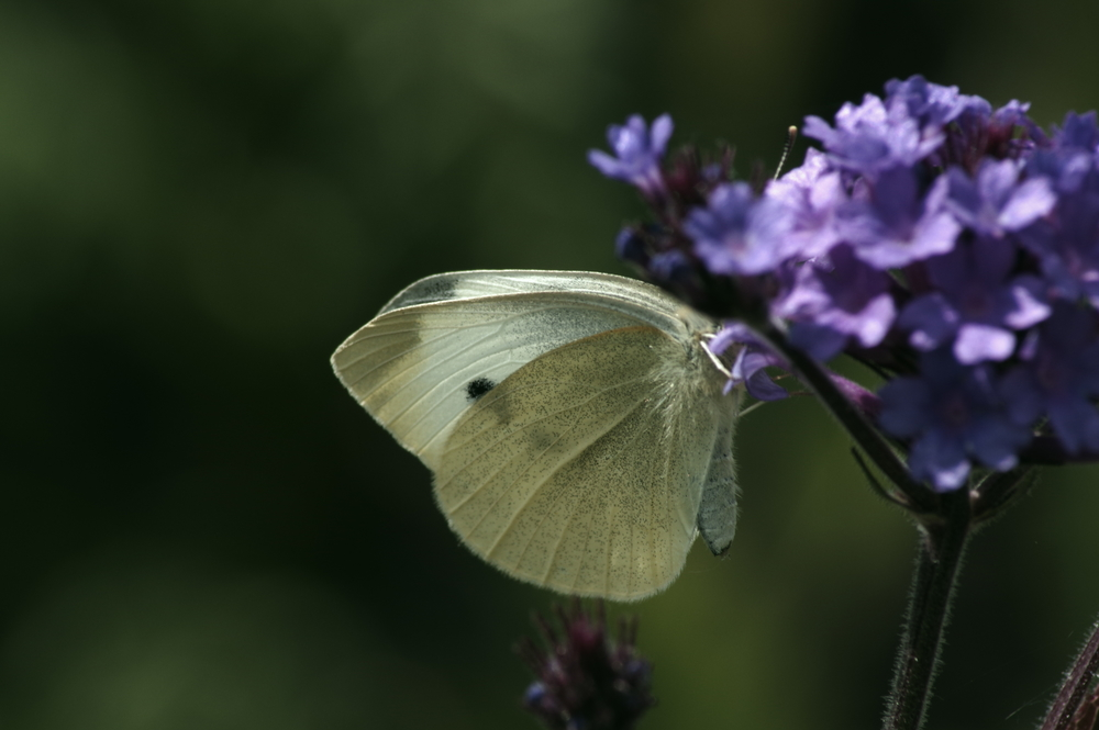 Cabbage White #1