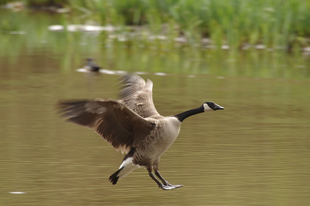 Canada Goose Landing on Water