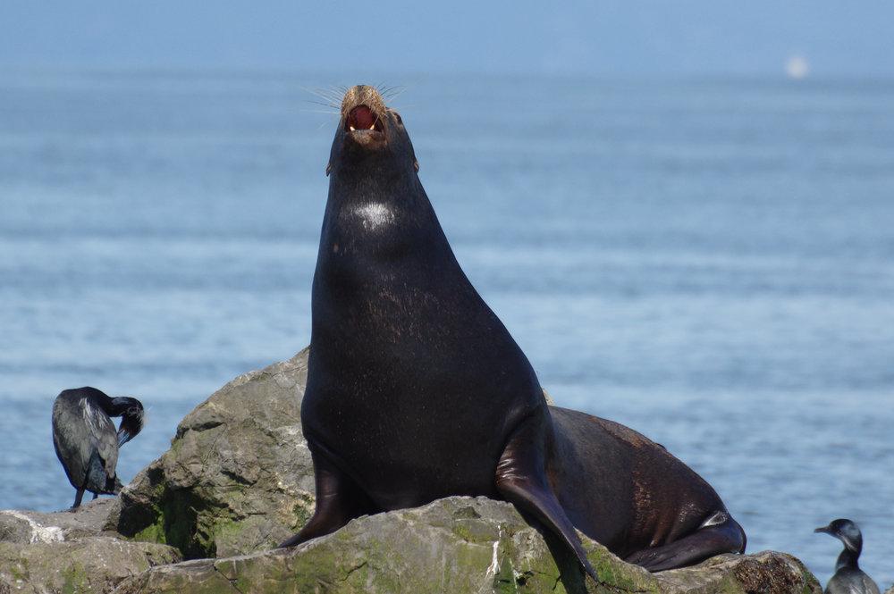 Sea Lion #1