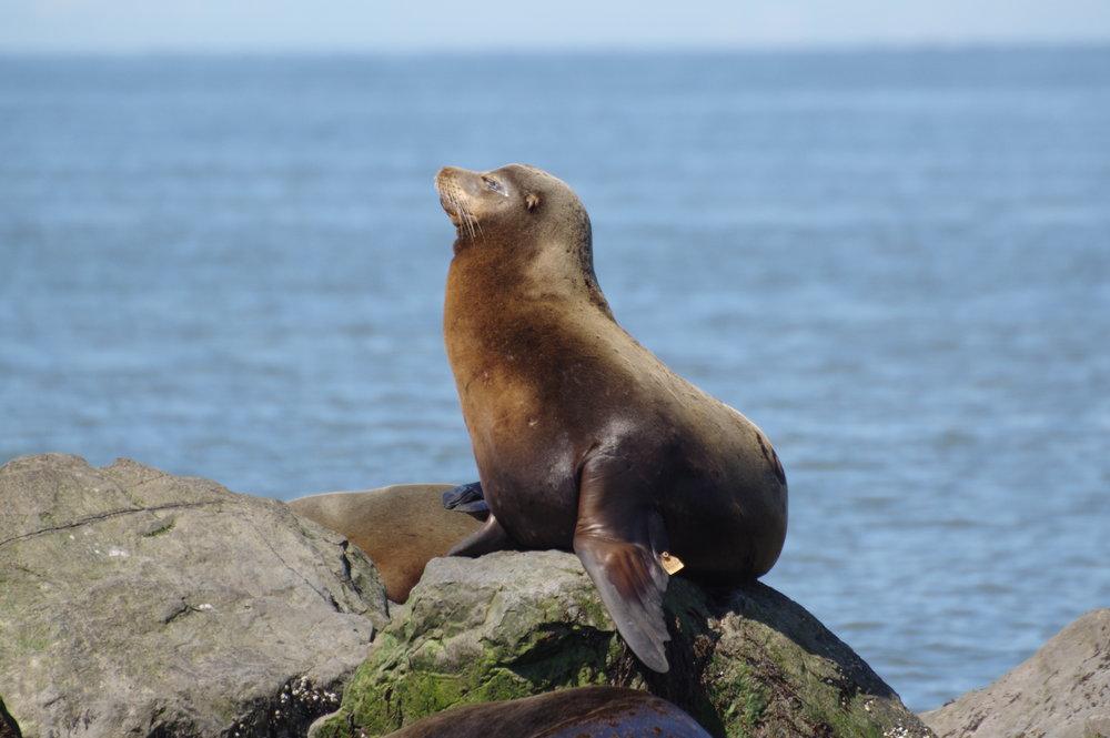 Sea Lion #2