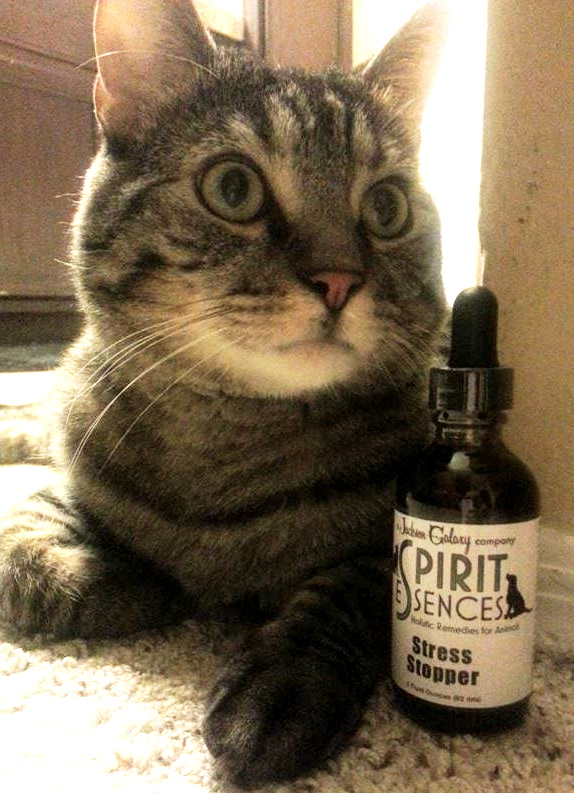 Former Fearless kitty Lt. Dan modeling off the Stress Stopper remedy sent to FKR from Jackson and his team at Spirit Essences!