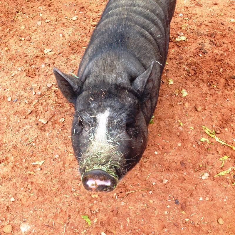 Piggie 1.jpg