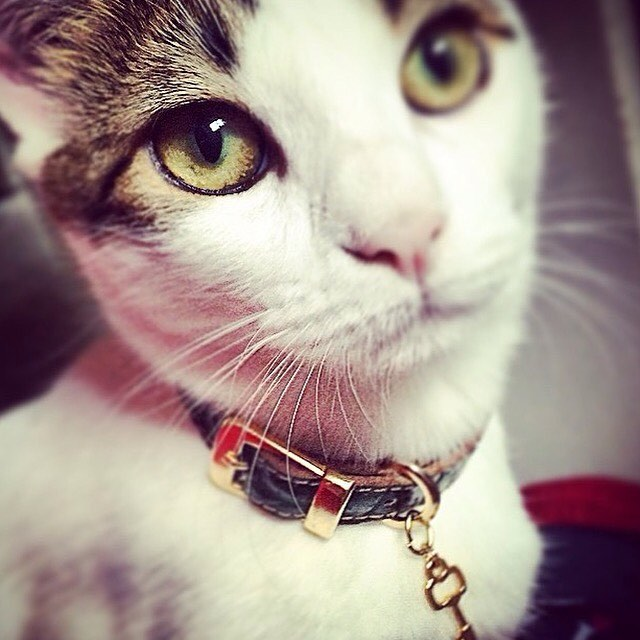 Happy #caturday 🐈www.canvilleusa.com  Fine #catcollar and #catleash for lovely #catsofinstagram and #catoftheday #leathercollar #adoptdontshop #catlover