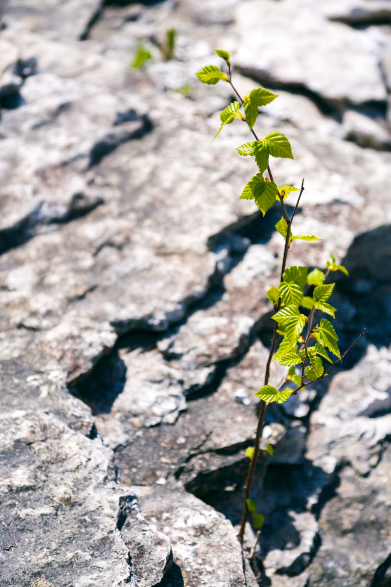 manitoulin-island-ontario-canada-providence-bay-rock-plant