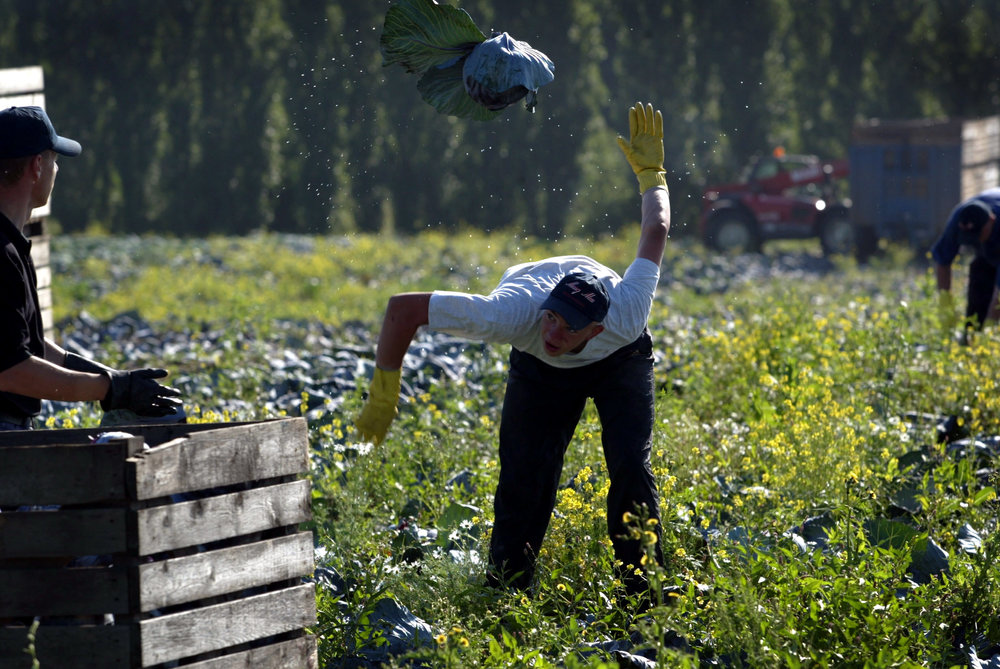 Lithuanian fieldworkers harvest cabbages, Norfolk