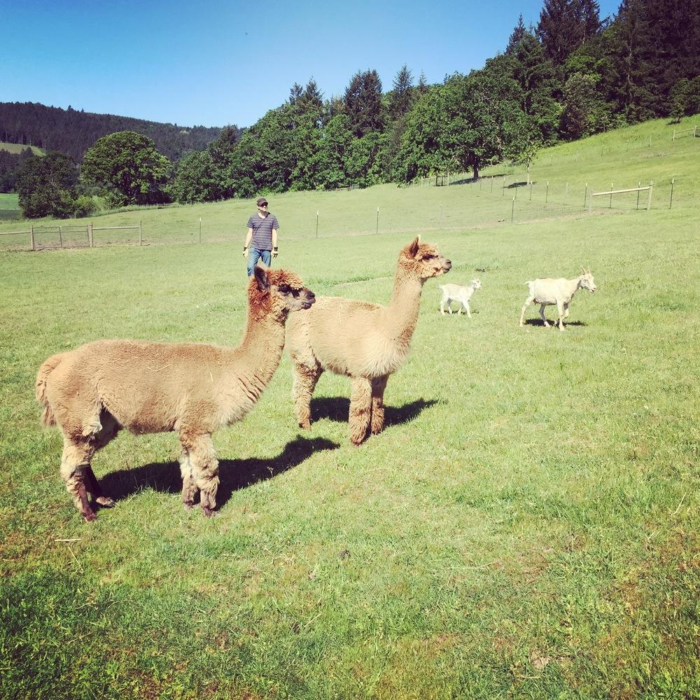 Wildwood Alpacas and Sheep
