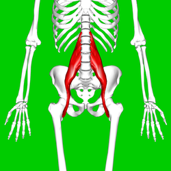 The psoas muscle courtesy of Wiki