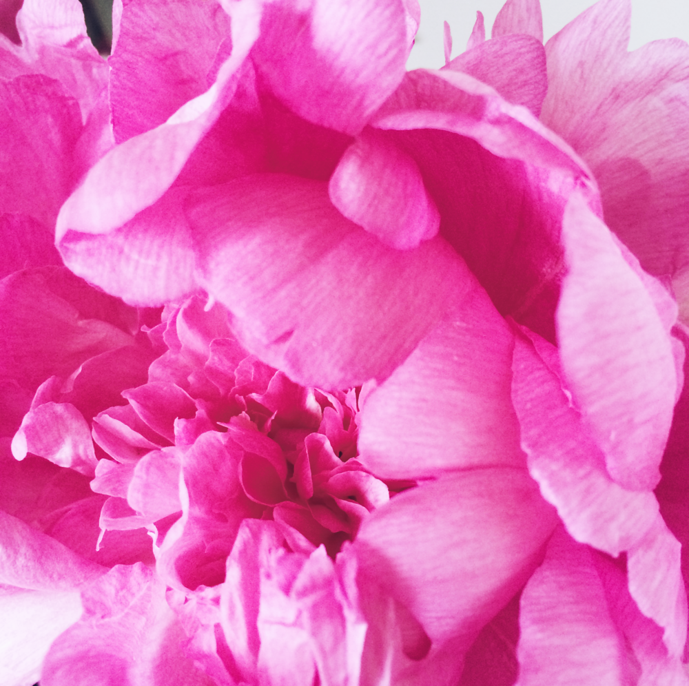 Bright Pink Birthday Peonies