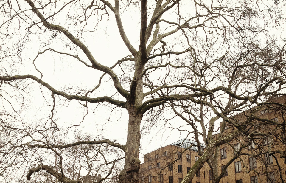 A great London Plane in Berkeley Square Gardens