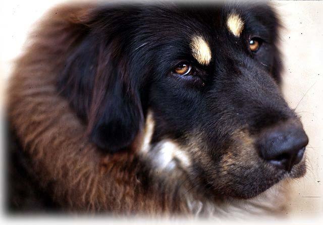 640px-Tibetan_Mastiff_001_Feather.jpg