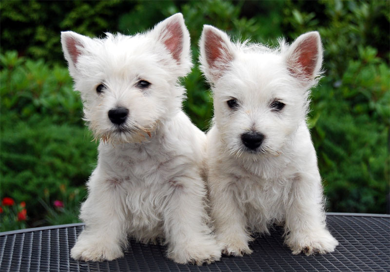 The only thing better than one Westie puppy.