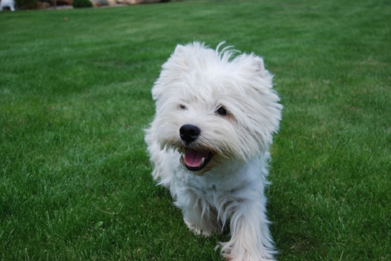 Green grass, blue sky and a Westie, is this heaven?