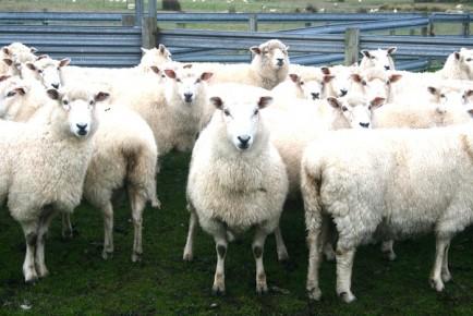 cb-sheep-434x290.jpg