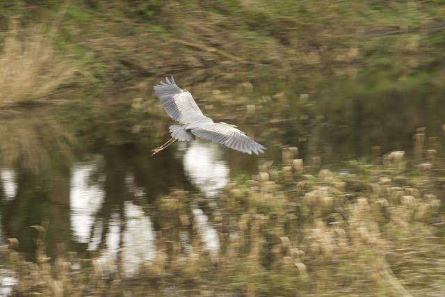 Long legs, wing span: Heron