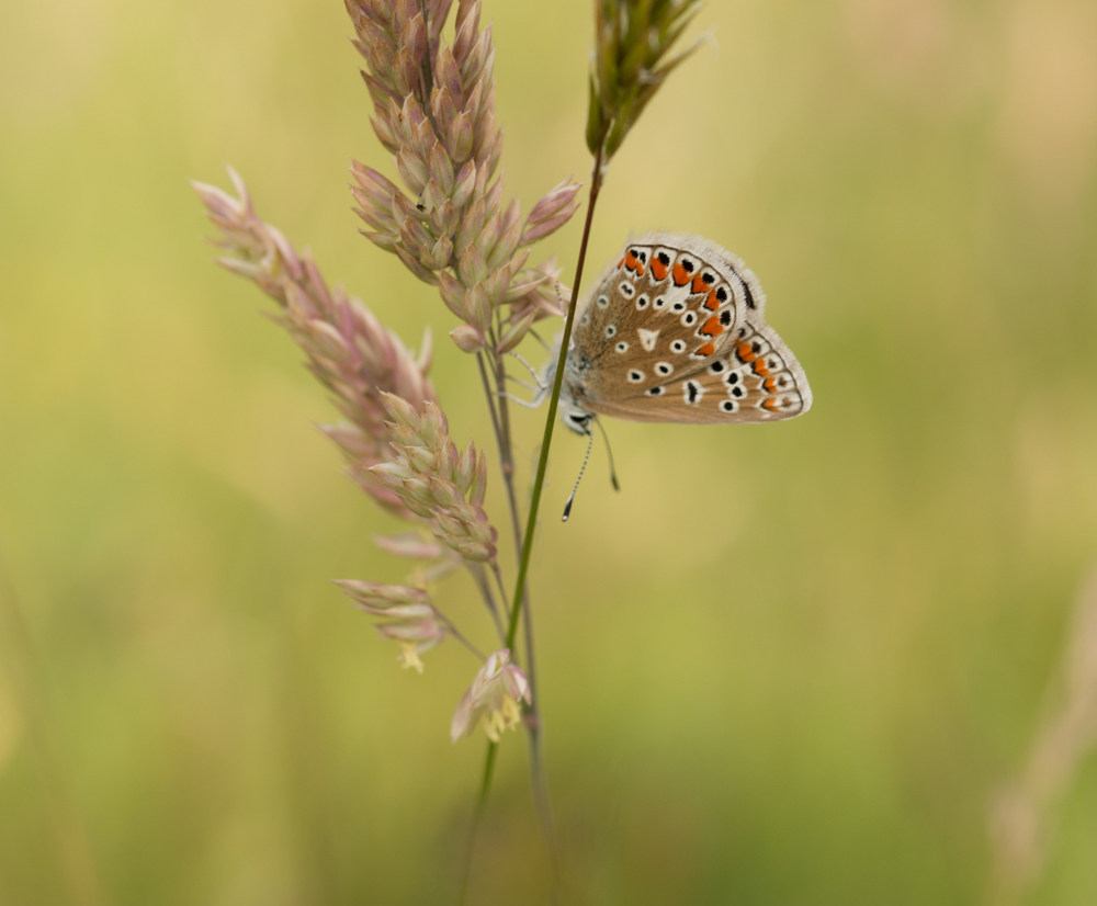 small blue butterfly, Canon 50mm f1.4, 250D closeup lens