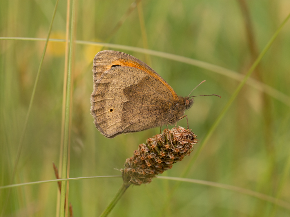 Meadow brown butterfly, Canon 250D close up lens on  a Canon 50mm f/14. Canon 70D