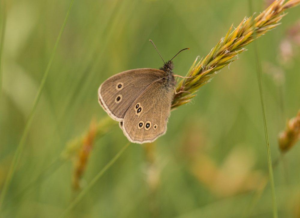 Ringlet butterfly, Canon 250D close up lens on  a Canon 50mm f/14. Canon 70D