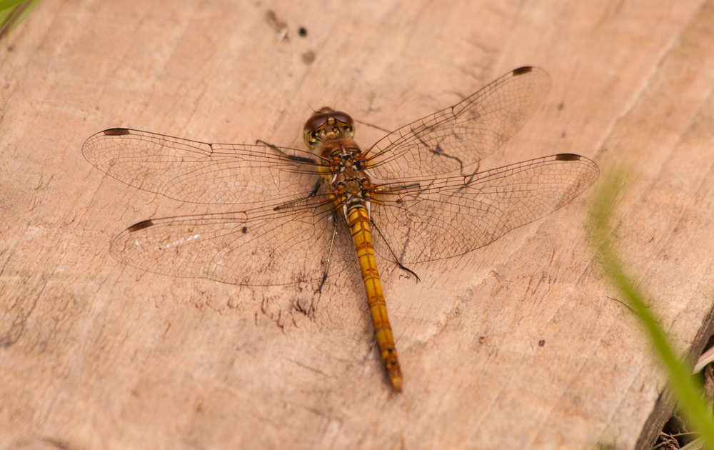 Common Darter dragonfly on old plank of discarded wood