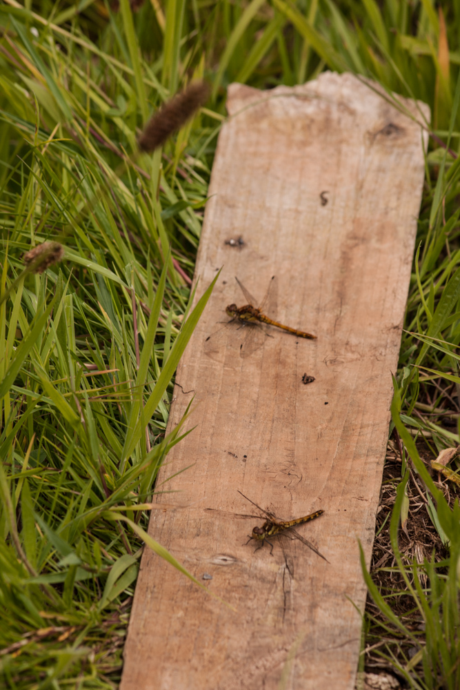 A discarded plank of wood in the scrubland, Orangefield park, Belfast. Home to two common darter dragonflies, spiders and butterflies