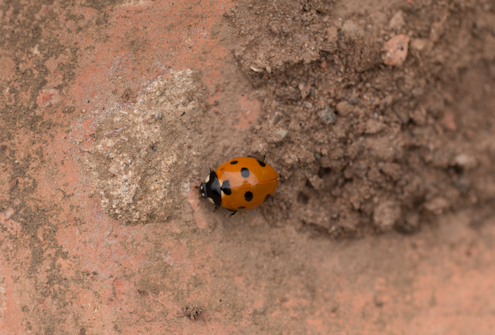 Old brick left to crumble, home to a ladybird. Orangefied park, Beflast