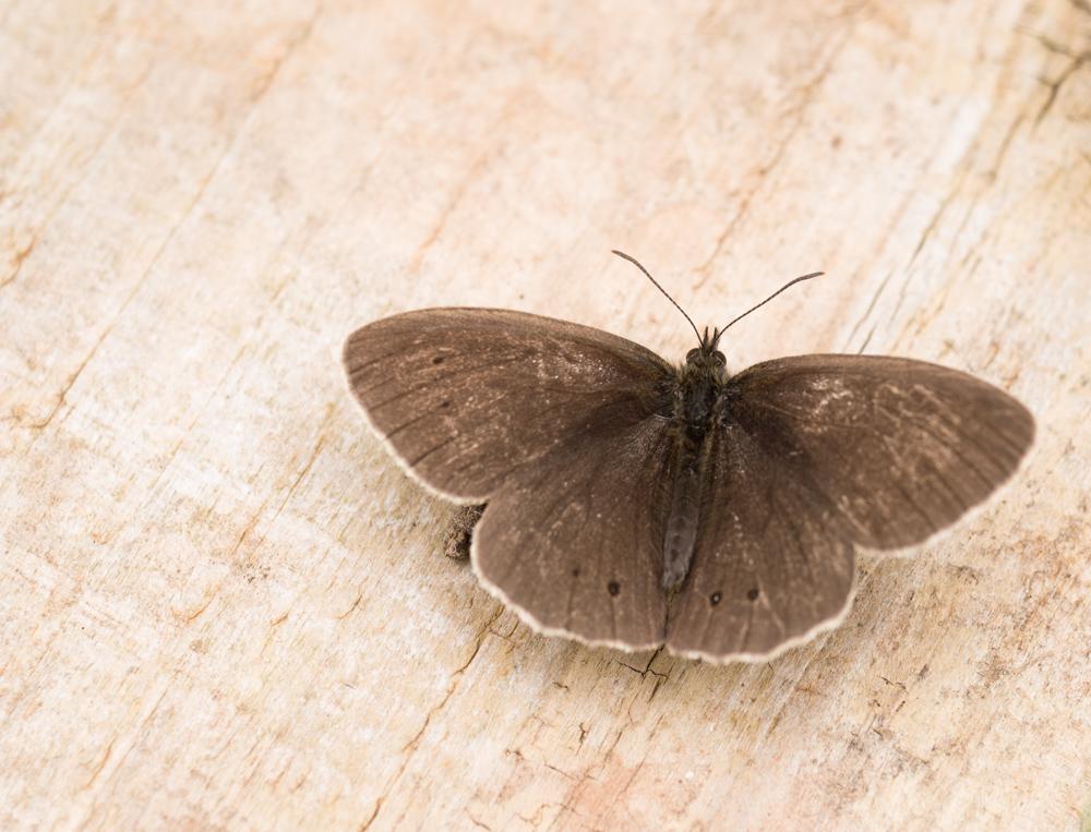 Ringlet butterfly, old plank of wood.Orangefield park, Belfast