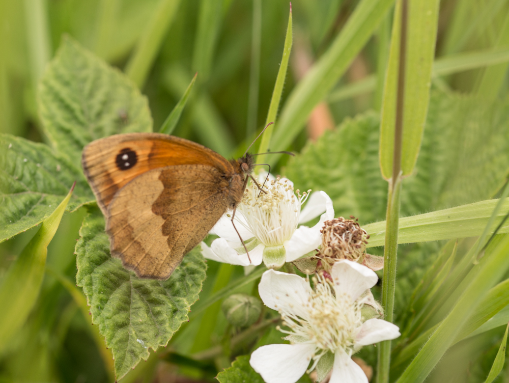Meadow brown butterfly, Orangefield park, Belfast