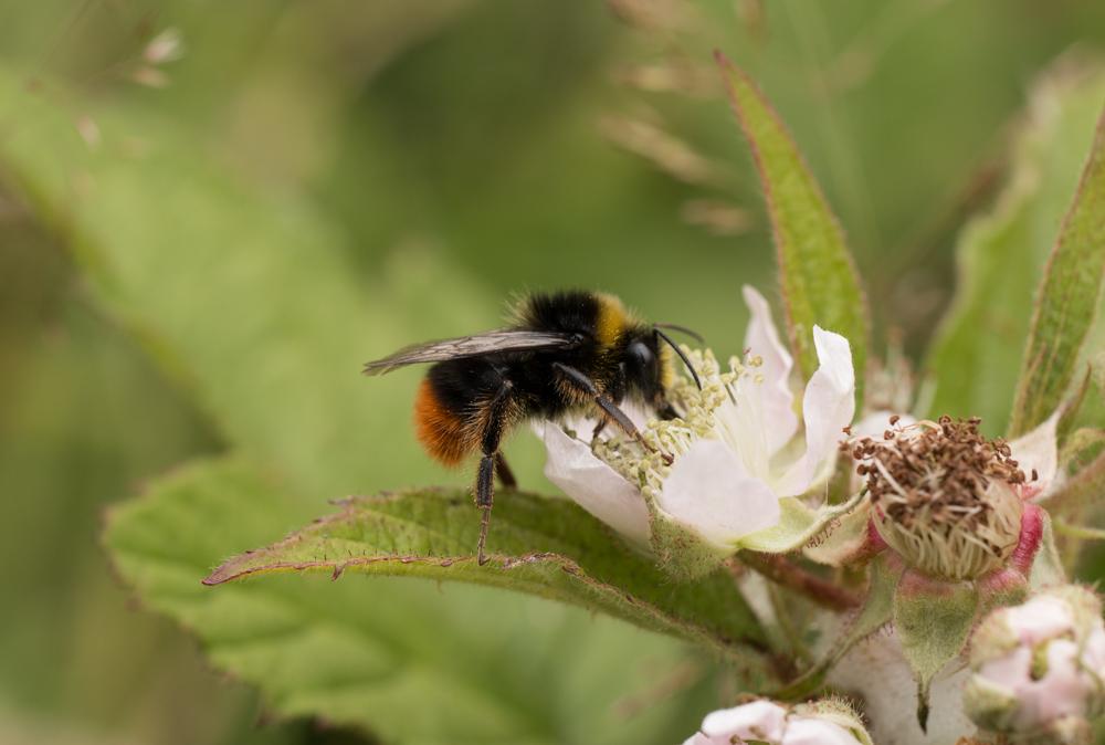 Bombus Lapidarius, Bee, Orangefield park, Belfast