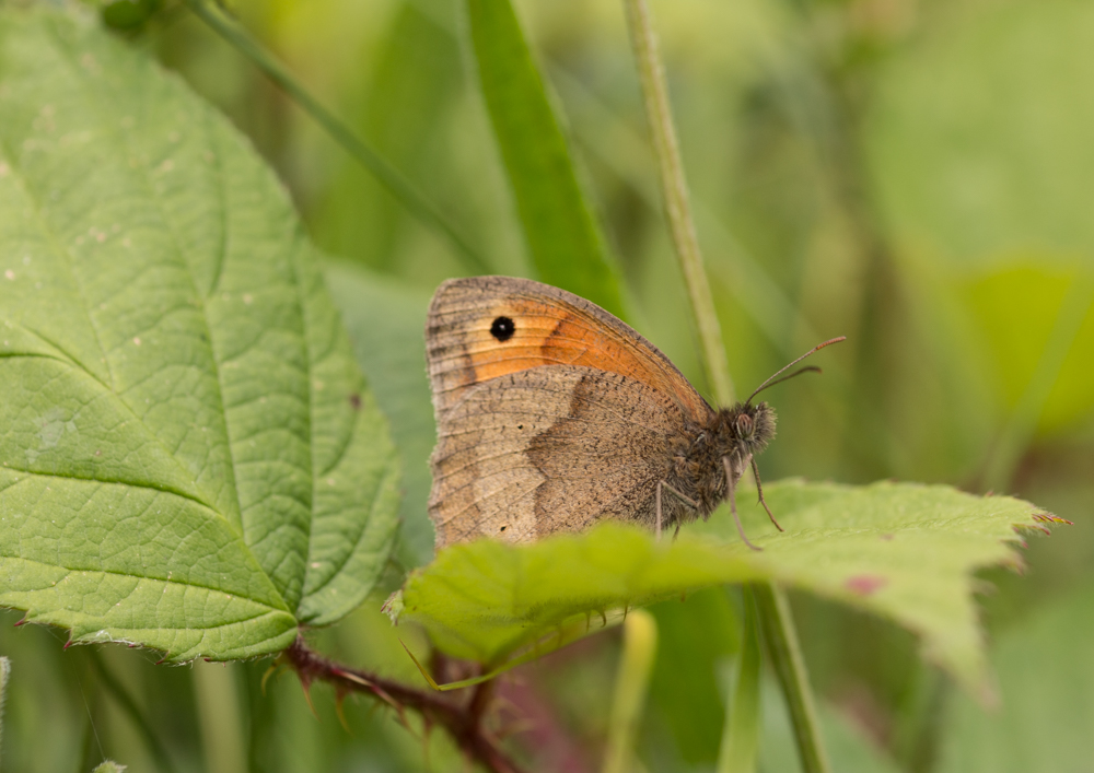 Meadow brown butterfly. Orangefield park, Belfast