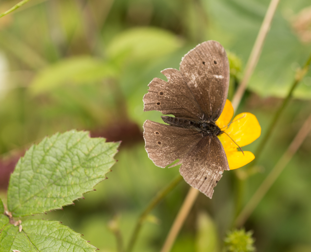 Ringlet Butterfly, damaged by predator (perhaps a bird) Orangefield park, Belfast