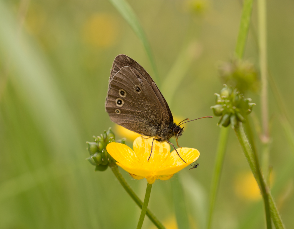 Ringlet butterfly, buttercup landing with a fly, Orangefield park, Belfast