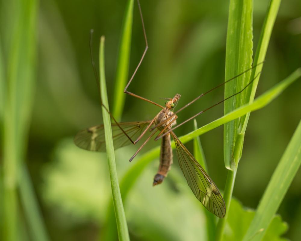 Cranefly (daddy long legs) Orangefield park, Belfast