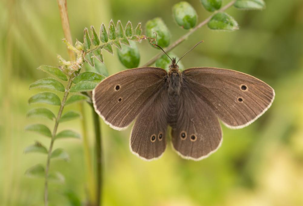 Ringlet butterfly,Orangefield park, Belfast