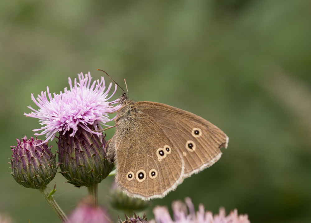 Ringlet butterfly, thistle.Orangefield park, Belfast