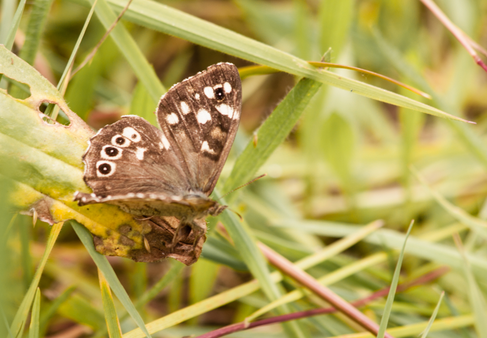 Speckled wood butterfl. Orangefield park, Belfast